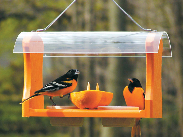 plants makes it easier to attract fruit eating birds to feeders