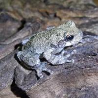 frogs the backyard naturalist the backyard naturalist