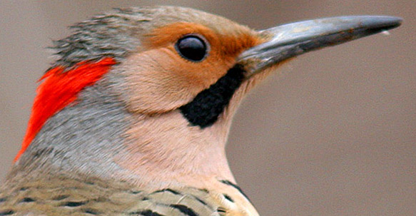 The Northern Flicker