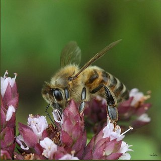 Bees - The BackYard Naturalist | The BackYard Naturalist
