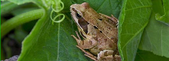 Frogs - The BackYard Naturalist | The BackYard Naturalist